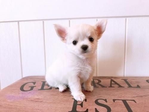 チワワ(ロング)の子犬(ID:1239211137)の2枚目の写真/更新日:2018-09-12