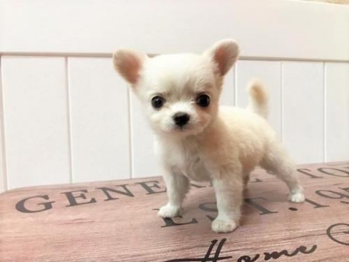 チワワ(ロング)の子犬(ID:1239211138)の1枚目の写真/更新日:2018-06-25
