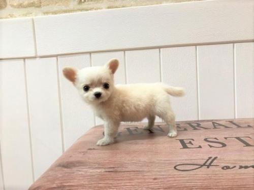 チワワ(ロング)の子犬(ID:1239211138)の2枚目の写真/更新日:2018-06-25