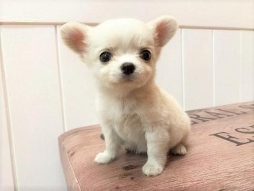 チワワ(ロング)の子犬(ID:1239211138)の3枚目の写真/更新日:2018-06-25