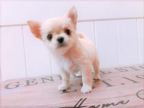 チワワ(ロング)の子犬(ID:1239211139)の1枚目の写真/更新日:2018-08-30
