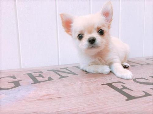 チワワ(ロング)の子犬(ID:1239211139)の2枚目の写真/更新日:2018-08-30