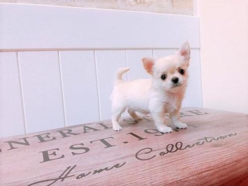 チワワ(ロング)の子犬(ID:1239211139)の3枚目の写真/更新日:2018-08-30