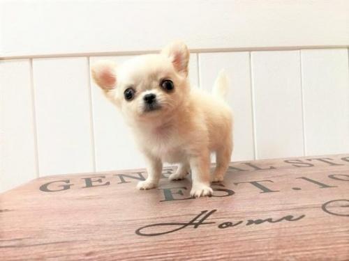 チワワ(ロング)の子犬(ID:1239211142)の1枚目の写真/更新日:2018-06-25