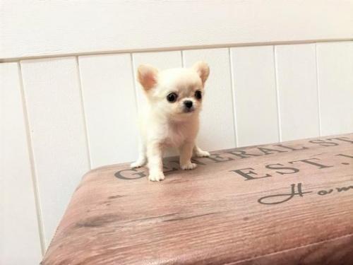 チワワ(ロング)の子犬(ID:1239211142)の2枚目の写真/更新日:2018-06-25