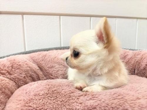 チワワ(ロング)の子犬(ID:1239211142)の3枚目の写真/更新日:2018-06-25