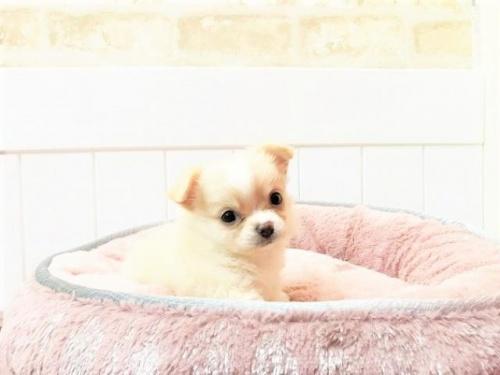 チワワ(ロング)の子犬(ID:1239211146)の1枚目の写真/更新日:2018-05-28