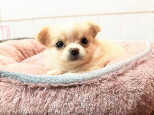 チワワ(ロング)の子犬(ID:1239211146)の2枚目の写真/更新日:2018-05-28