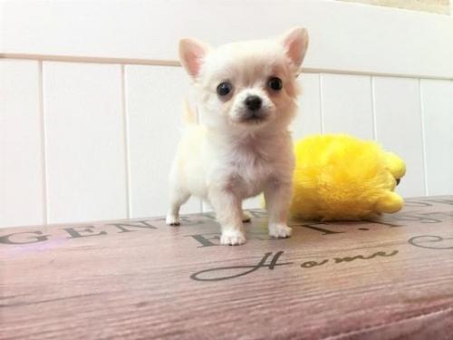 チワワ(ロング)の子犬(ID:1239211149)の1枚目の写真/更新日:2016-11-11