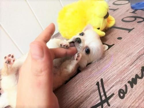 チワワ(ロング)の子犬(ID:1239211149)の2枚目の写真/更新日:2018-07-31