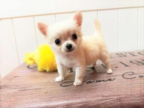 チワワ(ロング)の子犬(ID:1239211149)の3枚目の写真/更新日:2018-07-31