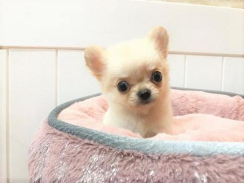 チワワ(ロング)の子犬(ID:1239211150)の1枚目の写真/更新日:2018-07-31