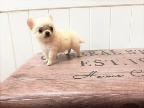 チワワ(ロング)の子犬(ID:1239211150)の3枚目の写真/更新日:2018-07-31