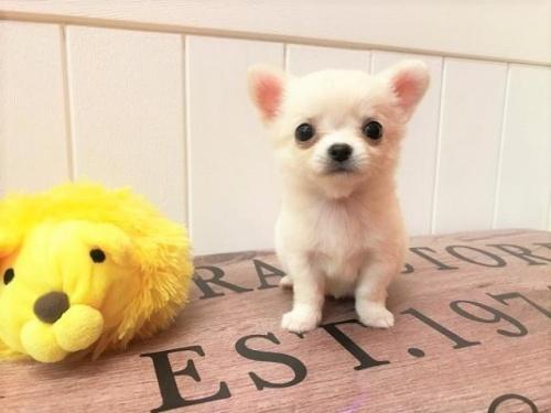 チワワ(ロング)の子犬(ID:1239211154)の1枚目の写真/更新日:2018-07-31