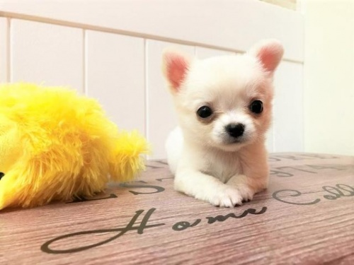 チワワ(ロング)の子犬(ID:1239211154)の2枚目の写真/更新日:2018-07-31