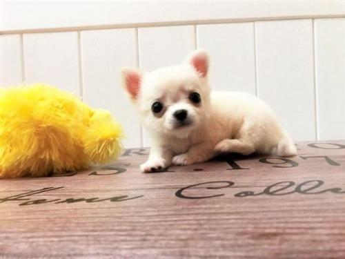 チワワ(ロング)の子犬(ID:1239211154)の3枚目の写真/更新日:2018-07-31