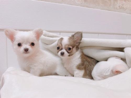 チワワ(ロング)の子犬(ID:1239211156)の2枚目の写真/更新日:2019-03-19
