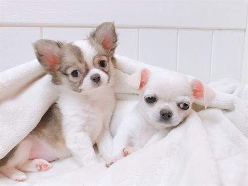 チワワ(ロング)の子犬(ID:1239211157)の1枚目の写真/更新日:2019-03-19
