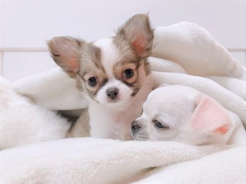 チワワ(ロング)の子犬(ID:1239211157)の2枚目の写真/更新日:2019-03-19