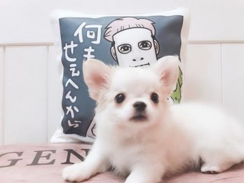 チワワ(ロング)の子犬(ID:1239211162)の1枚目の写真/更新日:2019-09-25