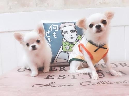 チワワ(ロング)の子犬(ID:1239211162)の2枚目の写真/更新日:2019-09-25