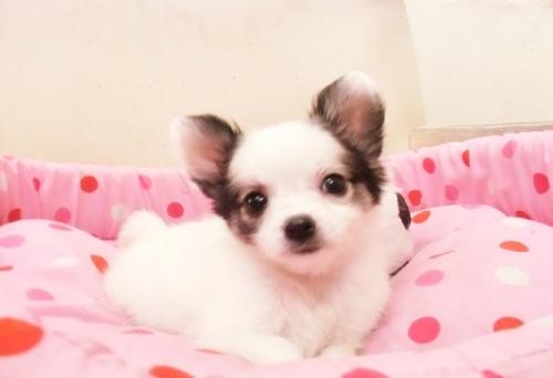 チワワ(ロング)の子犬(ID:1239211166)の1枚目の写真/更新日:2016-11-07