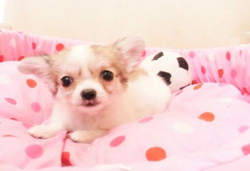 チワワ(ロング)の子犬(ID:1239211167)の1枚目の写真/更新日:2016-11-07