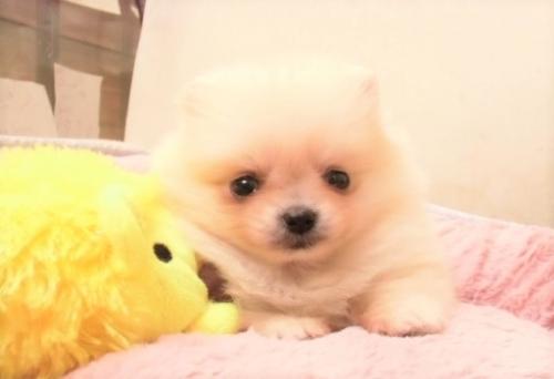 ポメラニアンの子犬(ID:1239211171)の1枚目の写真/更新日:2017-04-20