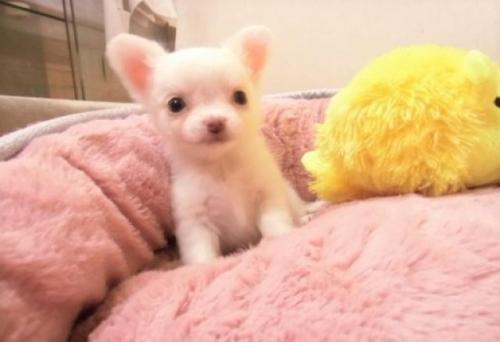チワワ(ロング)の子犬(ID:1239211172)の1枚目の写真/更新日:2017-04-20