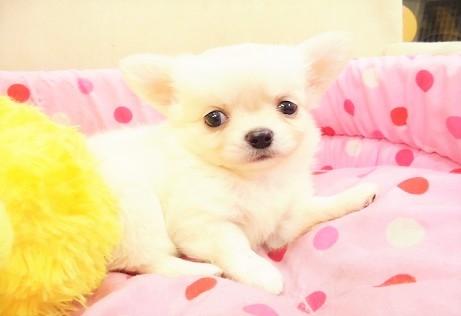 チワワ(ロング)の子犬(ID:1239211173)の1枚目の写真/更新日:2017-04-28