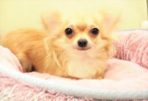 チワワ(ロング)の子犬(ID:1239211175)の1枚目の写真/更新日:2017-06-13
