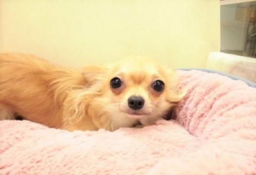 チワワ(ロング)の子犬(ID:1239211175)の2枚目の写真/更新日:2017-06-13
