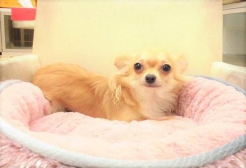 チワワ(ロング)の子犬(ID:1239211175)の3枚目の写真/更新日:2017-06-13
