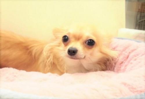 チワワ(ロング)の子犬(ID:1239211175)の4枚目の写真/更新日:2017-06-13