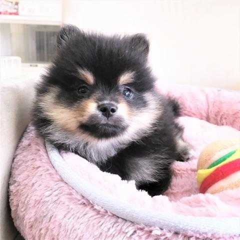 ポメラニアンの子犬(ID:1239211176)の1枚目の写真/更新日:2017-06-19