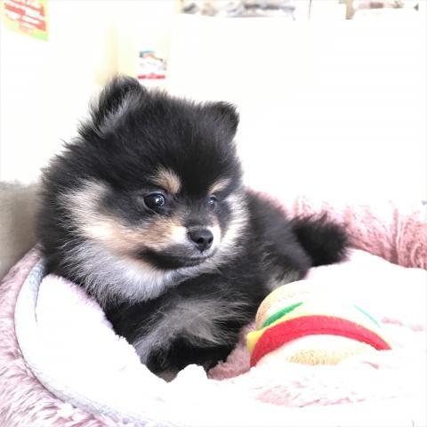 ポメラニアンの子犬(ID:1239211176)の2枚目の写真/更新日:2017-06-19