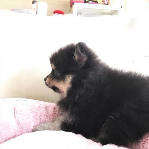 ポメラニアンの子犬(ID:1239211176)の3枚目の写真/更新日:2017-06-19