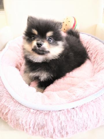 ポメラニアンの子犬(ID:1239211176)の4枚目の写真/更新日:2017-06-19