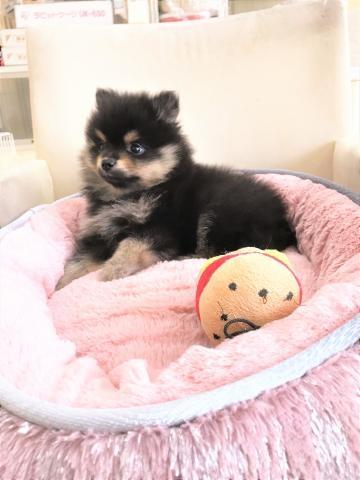 ポメラニアンの子犬(ID:1239211176)の5枚目の写真/更新日:2017-06-19