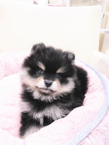 ポメラニアンの子犬(ID:1239211177)の1枚目の写真/更新日:2017-06-19