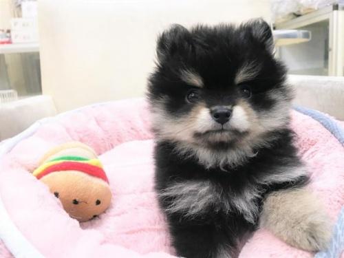 ポメラニアンの子犬(ID:1239211177)の2枚目の写真/更新日:2017-06-19