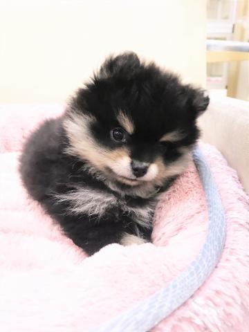 ポメラニアンの子犬(ID:1239211177)の3枚目の写真/更新日:2017-06-19