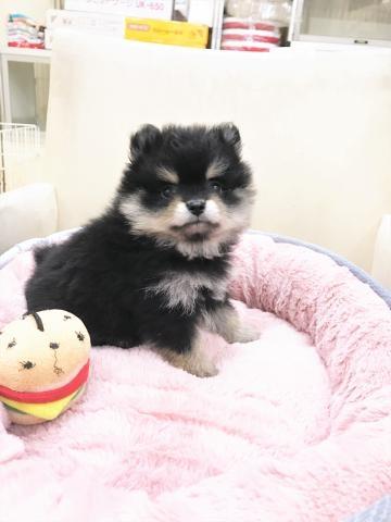 ポメラニアンの子犬(ID:1239211177)の5枚目の写真/更新日:2017-06-19