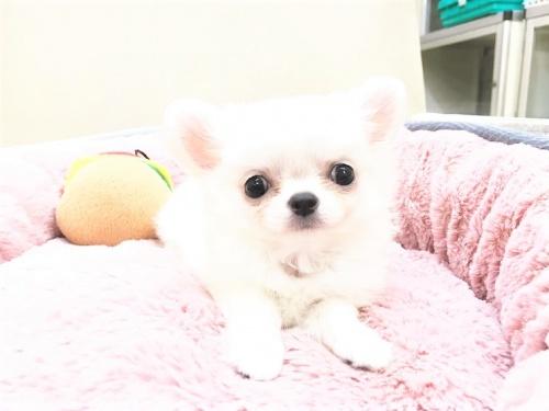 チワワ(ロング)の子犬(ID:1239211178)の1枚目の写真/更新日:2017-07-12