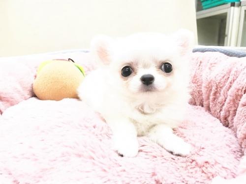 チワワ(ロング)の子犬(ID:1239211178)の9枚目の写真/更新日:2017-07-12