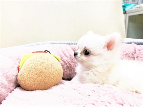 チワワ(ロング)の子犬(ID:1239211178)の2枚目の写真/更新日:2017-07-12