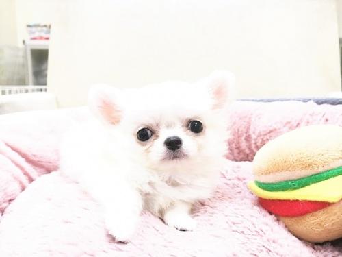 チワワ(ロング)の子犬(ID:1239211178)の3枚目の写真/更新日:2017-07-12