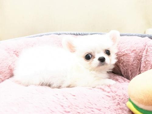 チワワ(ロング)の子犬(ID:1239211178)の4枚目の写真/更新日:2017-07-12