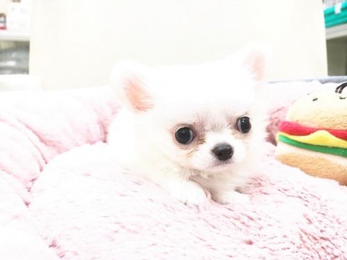 チワワ(ロング)の子犬(ID:1239211178)の5枚目の写真/更新日:2017-07-12