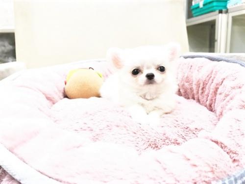 チワワ(ロング)の子犬(ID:1239211178)の7枚目の写真/更新日:2017-07-12